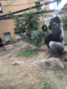 岡崎にある京都市動物園のゴリラ